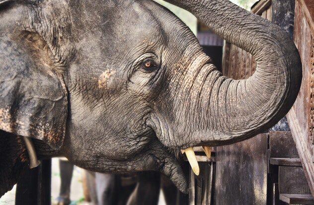 elephant- pidilite indutries mascot
